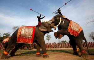 Indian Elephant Fighting for Sport