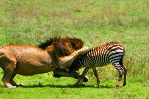 Old lion attacks zebra calf