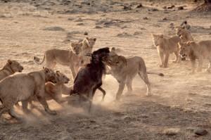 Female Lions Attack Wildebeest